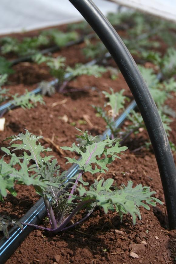 Kale in Hoop